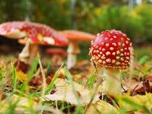 Fungo del Toadstool Fotografia Stock Libera da Diritti