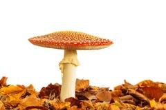 Fungo dell'agarico di mosca con le foglie di autunno isolate su bianco Fotografia Stock
