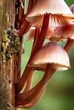Fungo dell'albero di inclinata di Mycena Fotografie Stock