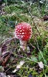 Fungo dell'amanita Fotografia Stock