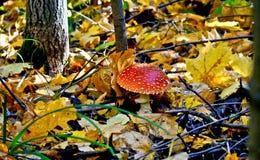 Fungo dell'amanita del fogliame di autunno. Fotografie Stock
