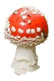 fungo dell'Volare-agarico immagine stock libera da diritti