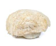 Fungo della criniera del leone isolato su fondo bianco Fotografia Stock
