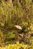 fungo della foresta Fotografie Stock