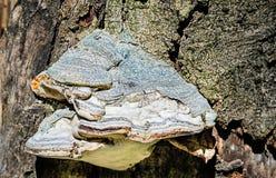 Fungo dello zoccolo che cresce su un tronco di albero caduto Immagine Stock