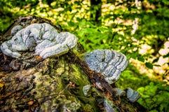 Fungo dello zoccolo che cresce su un tronco di albero caduto Fotografia Stock Libera da Diritti