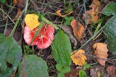 Fungo di autunno nell'erba asciutta e nelle foglie I funghi stagionali nella foresta di autunno si espande rapidamente crescendo  Fotografia Stock