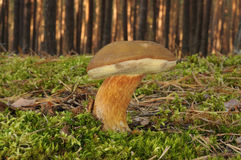 Fungo di badius del boletus Fotografia Stock