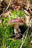 Fungo di badius di Xerocomus su erba verde Fotografia Stock