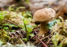 Fungo di Brown nella foresta Immagini Stock