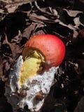 Fungo di Caesars dell'americano Fotografia Stock