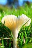 'Fungo di campo del Miller' Fotografia Stock