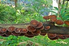 Fungo di ganoderma lucidum Immagine Stock