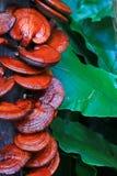Fungo di ganoderma lucidum Immagini Stock