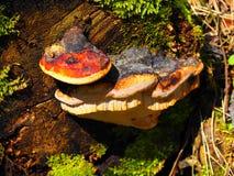 Fungo di ganoderma lucidum sull'albero morto Fotografia Stock Libera da Diritti