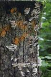Fungo di legno Fotografia Stock
