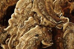 Fungo di legno I Fotografie Stock