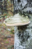 Fungo di legno Polypores Immagini Stock