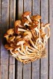 Fungo di miele (mellea di Armillaria) Fotografia Stock