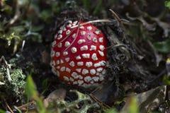 Fungo di Musaria dell'amanita fotografia stock
