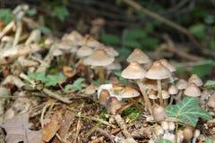 Fungo di Mycena in foresta Immagine Stock