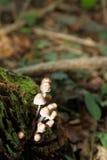 Fungo di Mycena in foresta Fotografia Stock