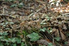Fungo di Mycena in foresta Immagini Stock Libere da Diritti