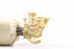Fungo di ostrica Fotografia Stock