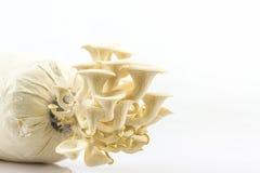 Fungo di ostrica Fotografie Stock Libere da Diritti