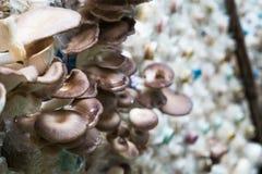 Fungo di ostrica del Bhutan in azienda agricola, dell'interno Immagini Stock Libere da Diritti