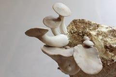 Fungo di ostrica di re su un substrato del fungo fotografia stock libera da diritti