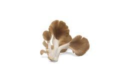 Fungo di ostrica su fondo bianco fotografie stock libere da diritti