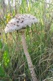 Fungo di parasole Fotografie Stock Libere da Diritti