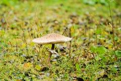 Fungo di parasole Fotografia Stock