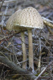 Fungo di parasole Fotografie Stock