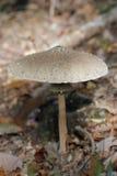 Fungo di parasole Fotografia Stock Libera da Diritti