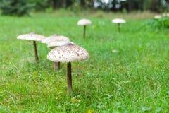 Fungo di parasole ben fatto su erba verde Fotografia Stock Libera da Diritti
