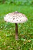 Fungo di parasole ben fatto su erba verde Immagini Stock