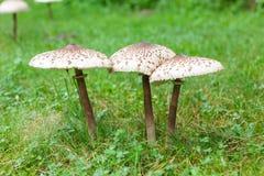 Fungo di parasole ben fatto su erba verde Fotografie Stock Libere da Diritti
