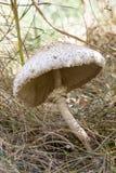 Fungo di parasole nella foresta di autunno Fotografia Stock