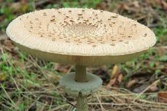 Fungo di parasole - procera di Macrolepiota Fotografie Stock Libere da Diritti