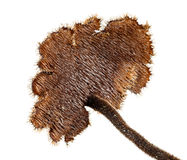 Fungo di Pinecone Fotografia Stock