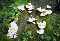 Fungo di pleurotus ostreatus su un albero Fotografia Stock Libera da Diritti