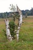 Fungo di Polypore, paludi degli alberi di morte dei funghi alte Immagine Stock Libera da Diritti