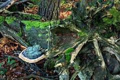 Fungo di Polypore - pinicola di Fomitopsis Fotografia Stock