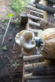 Fungo di Sajor-caju all'azienda agricola del fungo, Tailandia fotografie stock libere da diritti
