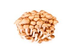 Fungo di Shimeji il fungo tropicale del Giappone su bianco Immagini Stock