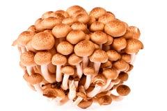 Fungo di Shimeji il fungo tropicale del Giappone su bianco Immagini Stock Libere da Diritti