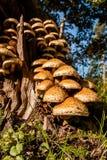 Fungo do Armillaria na árvore fotografia de stock royalty free