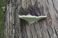 Fungo do conk do artista (applanatum de Ganoderma) Imagem de Stock Royalty Free